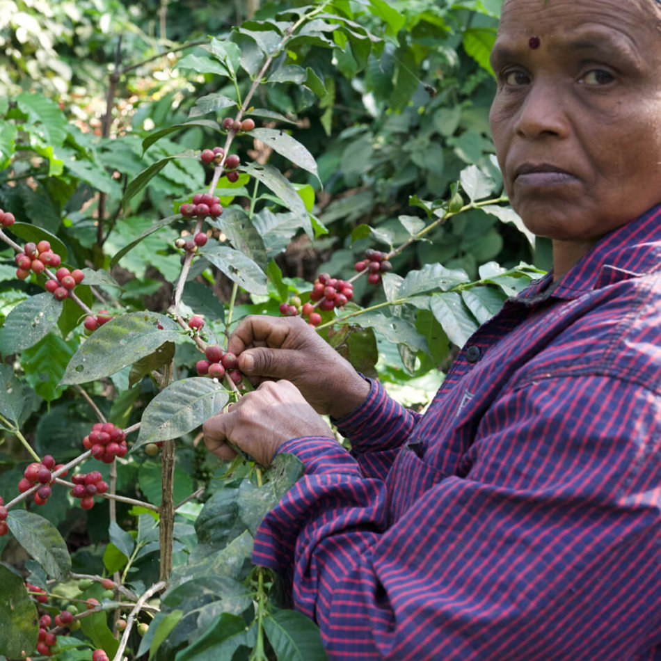 Sigma Coffee Roaster nachhaltige Kaffee ernte